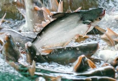 Xuất khẩu cá tra đạt 1,62 tỷ USD