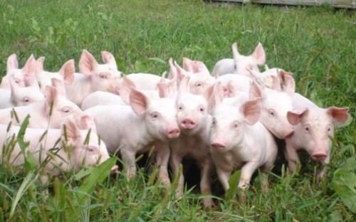 Giá lợn hơi ngày 26/1/2018 tại miền Trung tăng, miền Bắc giảm