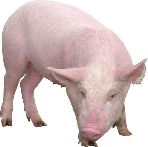 Giá lợn hơi  ngày 10/3/2018 giảm mạnh tại miền Bắc