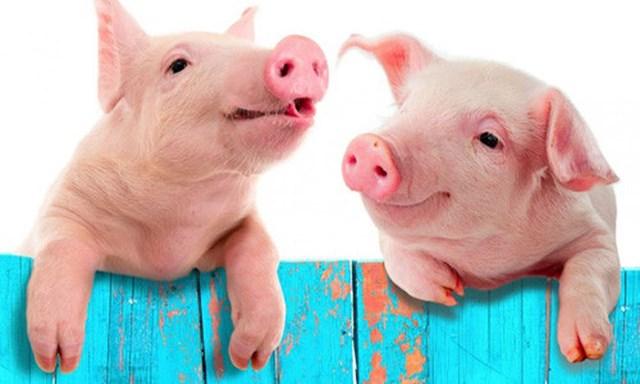 Giá lợn hơi tuần đến 25/3/2018 biến động chủ yếu theo chiều hướng giảm