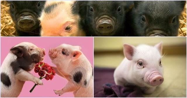 Giá lợn hơi tuần đến 18/3/2018 biến động liên tục