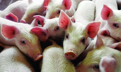 Giá lợn hơi ngày 3/3/2018 biến động mạnh nhất tại miền Trung - Nam