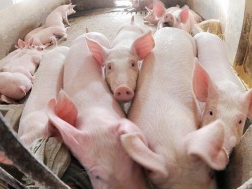 Giá lợn hơi ngày 9/4/2018 vẫn ở mức khá cao