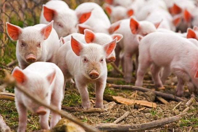 Giá lợn hơi ngày 13/4/2018 đã cán mốc 42.000 đ/kg