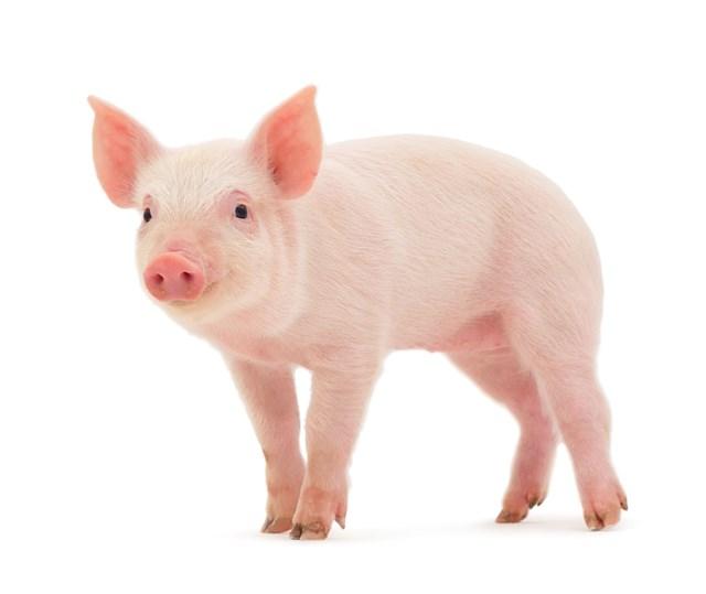 Giá lợn hơi ngày 1/5/2018 tại miền Bắc đạt mức cao nhất