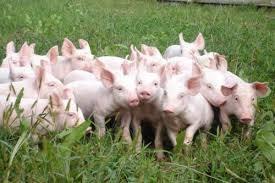 Giá lợn hơi ngày 5/5/2018 tăng trên thị trường cả nước