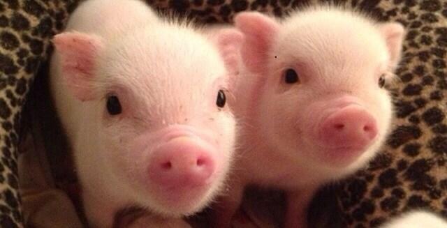 Giá lợn hơi tuần đến ngày 6/5/2018 biến động mạnh