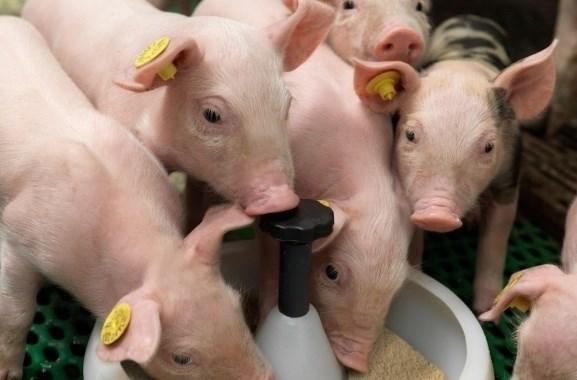 Giá lợn hơi ngày 7/5/2018 lên cao nhất kể từ tháng 9/2016
