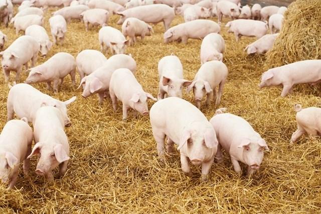 Giá lợn hơi ngày 9/5/2018 có nơi lên 44.000 đ/kg