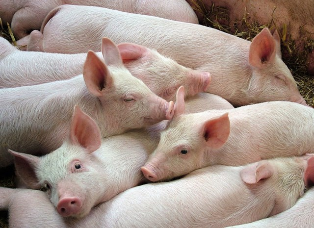 Giá lợn hơi ngày 11/5/2018 vượt ngưỡng 45.000 đ/kg