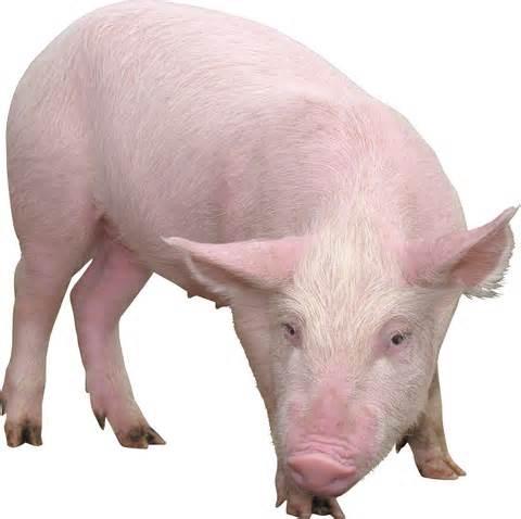 Giá lợn hơi ngày 6/6/2018 tiếp tục giảm nhẹ