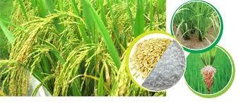 Giá gạo xuất khẩu tuần 25 -31/5/2018