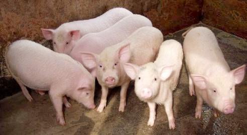 Giá lợn hơi ngày 26/7/2018 tại miền Bắc lên tới 56.000 đ/kg