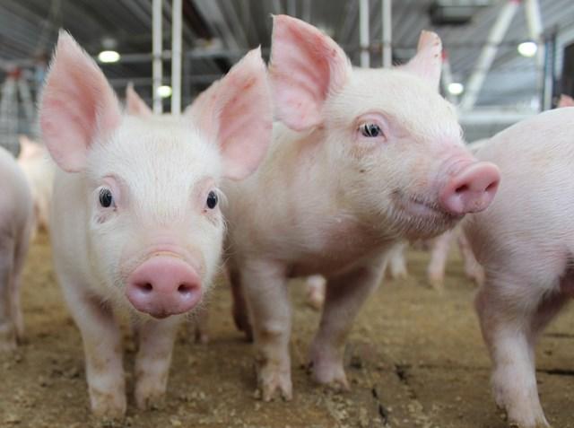 Giá lợn hơi ngày 27/7/2018 tại miền Bắc lên mức kỷ lục mới 57.000 đ/kg