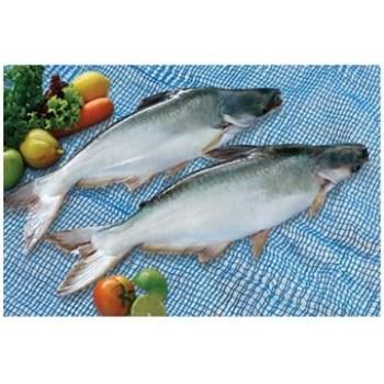 Giá cá tra nguyên liệu tiếp tục có xu hướng giảm