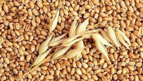 Tạm hoãn việc tái xuất lúa mì lẫn cỏ kế đồng vào ngày 1/11/2018