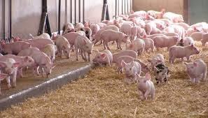 Giá lợn hơi ngày 24/10/2018 tiếp tục giảm