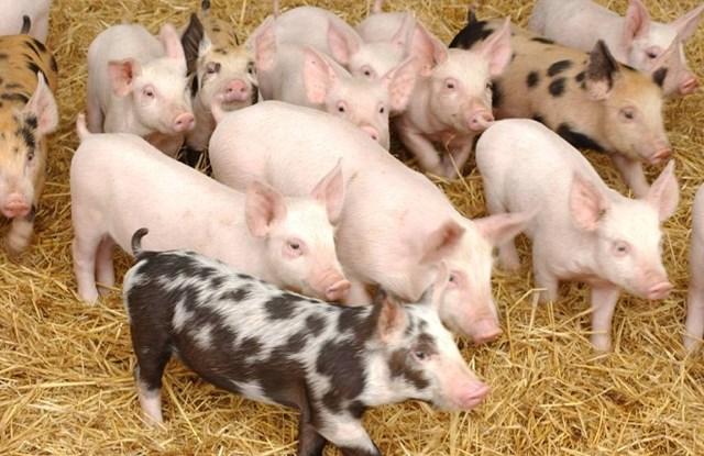 Giá lợn hơi ngày 7/12/2018 tại miền Bắc giảm, miền Trung tăng