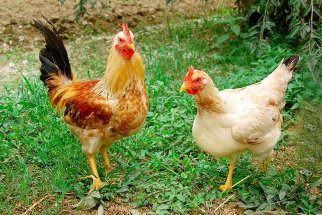 Công điện khẩn ngăn chặn động vật, sản phẩm động vật nhập lậu