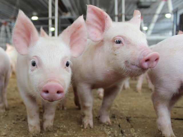 Giá lợn hơi ngày 12/2/2019 tăng mạnh tại thị trường miền Nam