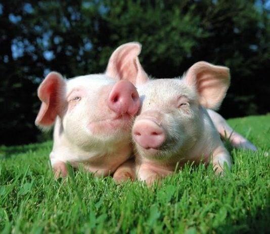 Giá lợn hơi ngày 12/3/2019 tiếp tục giảm mạnh trên cả nước