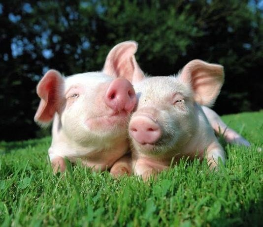 Giá lợn hơi ngày 3/5/2019 giảm tại miền Trung và miền Nam