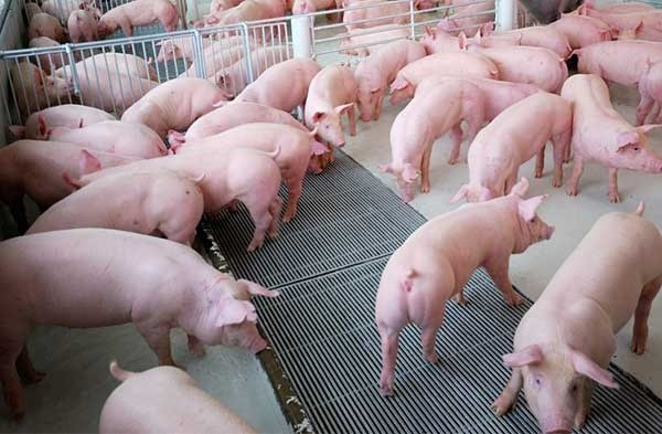 Giá lợn hơi ngày 15/5/2019 vẫn giảm trên diện rộng