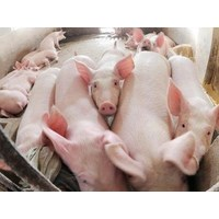 Giá lợn hơi ngày 20/5/2019 có nơi xuống dưới 30.000 đ/kg