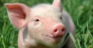 Giá lợn hơi ngày 28/5/2019 giảm nhiều ở khu vực phía Nam