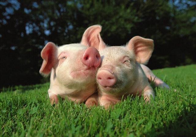 Giá lợn hơi tuần đến 30/6/2019 nhìn chung vẫn giảm
