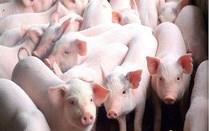 Giá lợn hơi ngày 11/7/2019 tại miền Bắc tăng trên mức 40.000 đ/kg