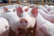 Giá lợn hơi ngày 25/7/2019 tăng tại một số tỉnh miền Trung