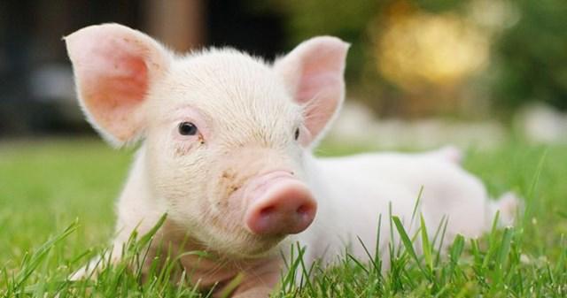Giá lợn hơi tuần đến 6/10/2019 tăng trên thị trường cả nước