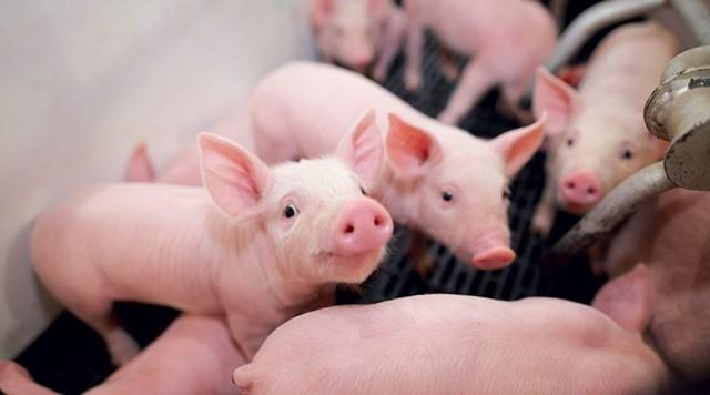 Giá lợn hơi ngày 10/10/2019 vượt 60.000 đ/kg