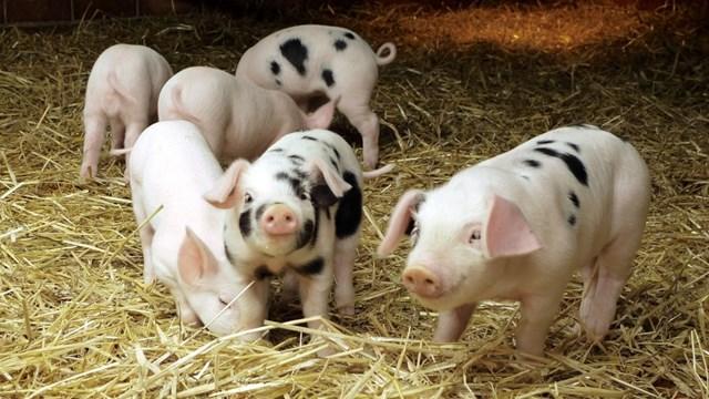 Giá lợn hơi ngày 11/10/2019 trung bình trên 60.000 đ/kg