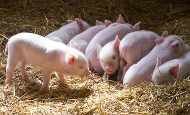 Giá lợn hơi ngày 26/10/2019 ổn định tại miền Bắc, Trung, giảm tại miền Nam