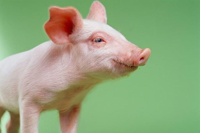 Giá lợn hơi ngày 29/10/2019 tăng nhẹ trở lại tại miền Bắc