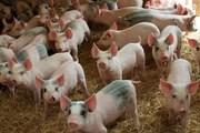 Giá lợn hơi ngày 1/10/2019 tiếp tục tăng tại hai miền Bắc - Nam