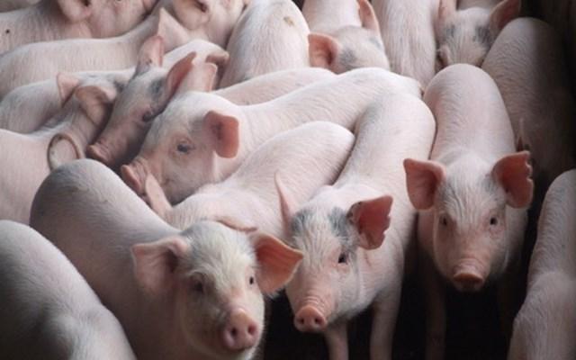 Biến động giá lợn hơi ngày 6/11/2019