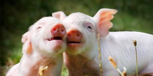 Giá lợn hơi ngày 8/11/2019 tại miền Trung, Tây Nguyên lặng sóng
