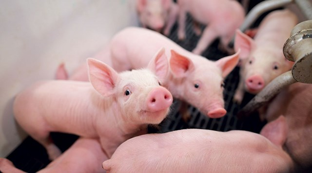 Giá lợn hơi ngày 19/11/2019 tại miền Bắc giảm trở lại