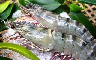 Thị trường thủy sản tuần qua: Giá tôm, cá tra tăng trở lại
