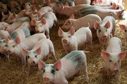 Giá lợn hơi ngày 2/1/2020 giảm mạnh tại miền Nam