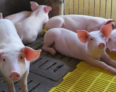Giá lợn hơi ngày 24/4/2020 ổn định ở mức cao