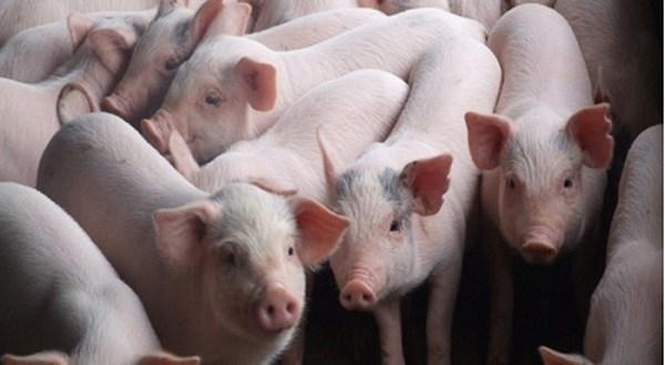 Giá lợn hơi tuần đến 3/5/2020 duy trì ở mức cao