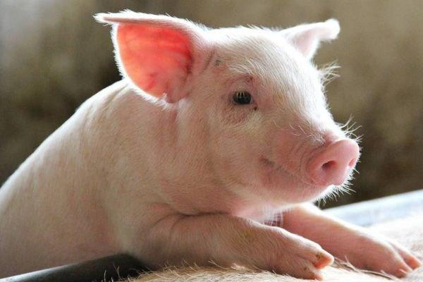Giá lợn hơi ngày 24/12/2020 tiếp tục tăng