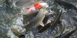Campuchia tạm thời cấm nhập khẩu các loại cá nuôi