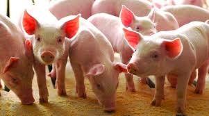Giá lợn hơi ngày 19/1/2021 tại miền Trung và miền Nam tăng