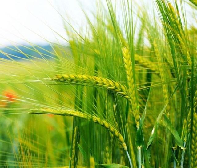Nhập khẩu lúa mì tháng 1/2021 giảm cả lượng và kim ngạch so với cùng kỳ
