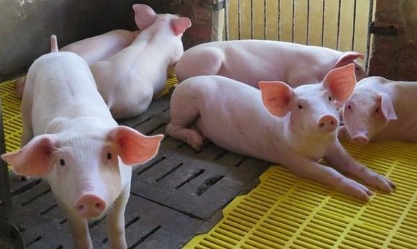 Giá lợn hơi hôm nay 4/6/2021 tăng ở một số tỉnh thành
